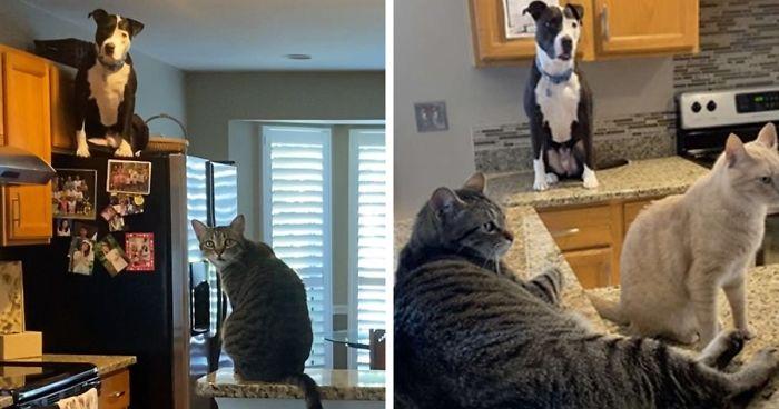 Cachorro Pitbull se comporta como gato e faz sucesso na internet, veja